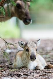 best 25 reindeer photo ideas on pinterest white reindeer where