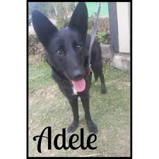 belgian shepherd rescue qld adele medium female kelpie x belgian shepherd groenendael mix in