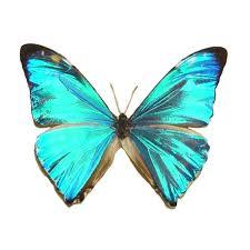 morpho zephyritis butterfly designs framed butterflies