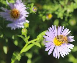 plants native to new york five great asters for the fall bee garden the bee gardener anr