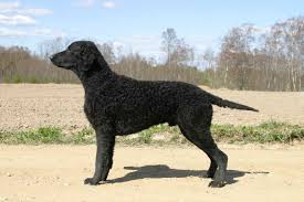 belgian sheepdog facts curly coated retriever facts for kids pictures puppies