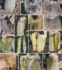 Viroid Diseases In Plants - symptoms and abnormalities observed on commune clementine grafted