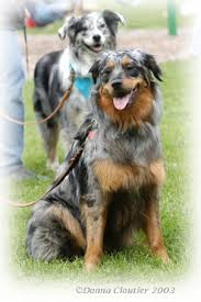australian shepherd tan blue merle coloring and the genotypes family dog pets