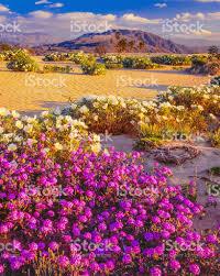 anza borrego wildflowers spring wildflowers anza borrego desert state park california stock
