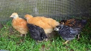 the beginning raising free range chicken pullets in dallas texas