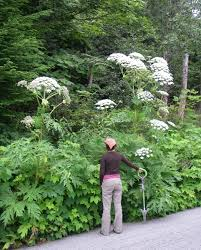 plants native to canada invasive species environmental reporting bc