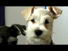 mini schnauzer haircut styles dog grooming what does a puppy cut look like youtube