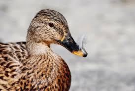 hinterland who u0027s who american black duck