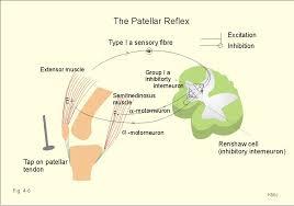 Knee Reflex Arc New Human Physiology Ch 4