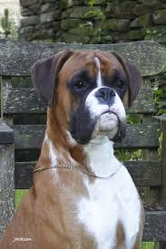 boxer dog 2015 boxer dogs and puppies for stud in doncaster pets4homes