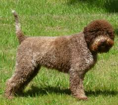 afghan hound breeders qld lagotto romagnolo breeders australia lagotto romagnolo info