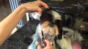 haircuts for shih tzus males shih tzu haircuts how to groom the face i love shih tzu