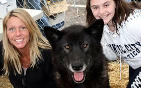 belgian shepherd howling howling woods farm wolfdogs animal rescue 501 c 3 public charity nj