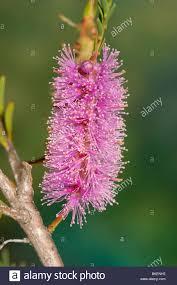 native australian flowering plants purple flowers of a native australian paperbark plant known as