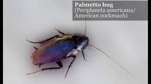 Flying Cockroach Meme - 7 things you need to know about palmetto bugs island packet