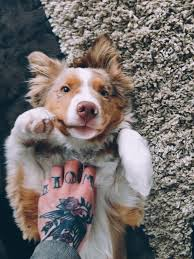 australian shepherd ugly stage puppy belly rub