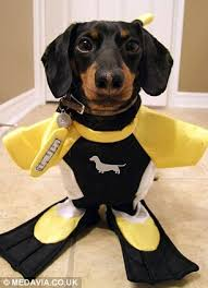 crusoe the dachshund becomes internet celebrity with his wacky