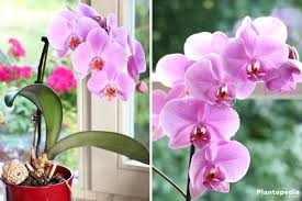 Orchids Facts by Indoor Orchid Care Pruning Repotting Watering Of An Orchid