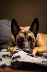 belgian malinois 101 youtube 64 best dogs images on pinterest german shepherds belgian