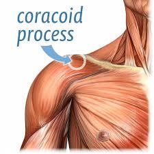 Muscle Anatomy Of Shoulder Frozen Shoulder Guide 2017