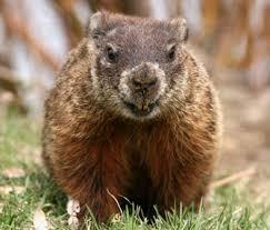 wildlife pets groundhogs
