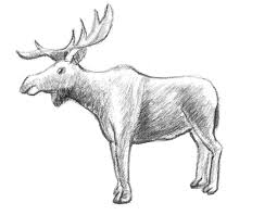 how to draw a moose step by step