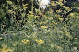 fennel advice from the herb