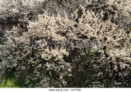 Tree With Little White Flowers - bush with small white flowers stock photos u0026 bush with small white