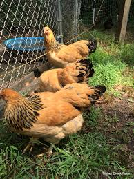 Backyard Chicken Farming by The Brahma Chicken Raising A Large Breed Countryside Network