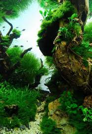 Most Beautiful Aquascapes 54 Best Aquaticplants Biotope Aquascape Fish Images On Pinterest