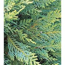 leyland cypress 3gleycyp the home depot