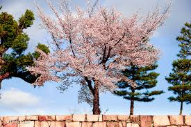the meaning of cherry blossoms in japan and renewal