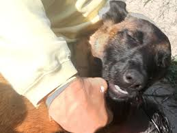 9 month old belgian malinois dog swims over 6 miles to reunite with family after falling off