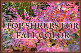 shrubs autumn color steal show