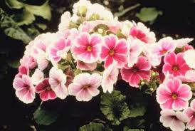 Pink Primrose Flower - how to trim primrose home guides sf gate