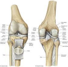 Knee Bony Anatomy Knee U0026 Leg Atlas Of Anatomy