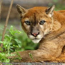 the cougar has a good sense of hearing but is thought to have a