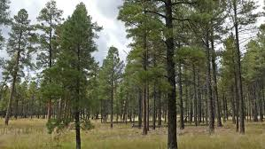 Arizona forest images Ponderosa pine trees in coconino national forest in northern jpg