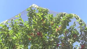 review of wilson s anti bird netting protecting fruit trees