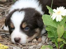 australian shepherd x puppies for sale red tri female 2 mini aussie puppies for sale gidget x pb max