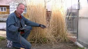 pruning ornamental grasses