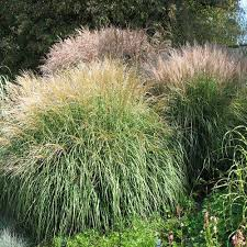 miscanthus sinensis seeds silver ornamental grass seed