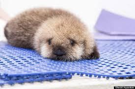 Sea Otter Meme - baby sea otter blank template imgflip