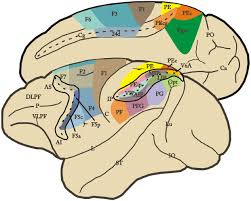 frontiers grasping actions and social interaction neural bases