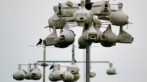 purple martins the bird that relies on human built nests u2013 cool