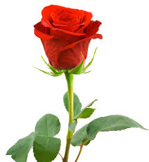 Rose Flower Images Red Rose Flowers Flowers Wallpapers Rose Wallpapers Rose