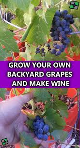 11 best sultana thompson seedless grape images on pinterest