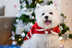 westie with santa claus suit and tree