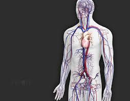 Human Anatomy Pic 3dscience Com Zygote Human Anatomy Upgrades