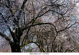 plum trees stock photos plum trees stock images alamy